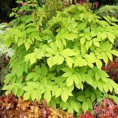 Aralia cordata 'Sun King.' Wonderful herbaceous shrub for brightening those dark corners of shade gardens.