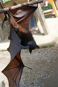 Flying Fox hanging out.