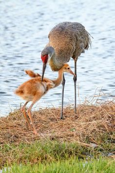 Sandhill Cranes- Beautiful creatures-love their flight