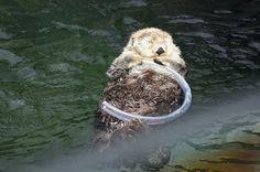 Sea otter naps holding her tube toy - September 3, 2015