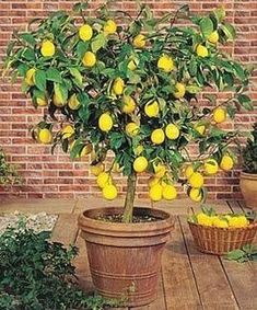 Potted meyer lemon trees are easy to grow and produce luscious fruit. I get over...#easy #fruit #grow #lemon #luscious #meyer #potted #produce #trees Indoor Lemon Tree, Indoor Fruit Trees, Lemon Tree From Seed, Meyer Lemon Tree, How To Grow Lemon, Lemon Uses, Mediterranean Garden, Garden Trees, Growing Tree