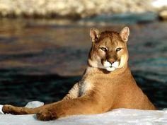 Puma en la patagonia