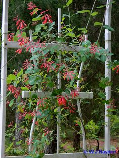 Coral Honeysuckle attracts hummingbirds and butterflies. It prefers well-drained acid or near neutral soil. Full sun with supporting structure such as a fence or trellis will yield the best floral display. The plant can grow in shade, but fewer flowers will be seen.