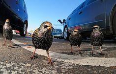 Urban wildlife category: Tomos Brangwyn, 'London Starling Gang', England