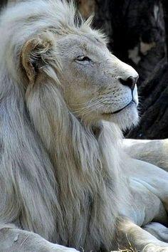 שלג No wonder He is sometimes referred to as the Lion of Judah! No other more majestic animal than this.No wonder He is sometimes referred to as the Lion of Judah! No other more majestic animal than this. Animals And Pets, Baby Animals, Cute Animals, Wild Animals, Safari Animals, Beautiful Cats, Animals Beautiful, Beautiful Tattoos, Grand Chat