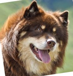 finnish Lapphund photo | Home - Infindigo Finnish Lapphunds