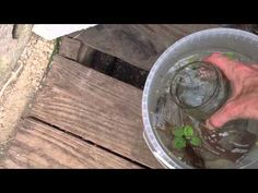 Aquaponics Geodome - new freshwater prawns breeding & roots cleaning - YouTube