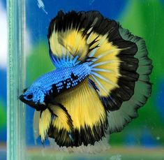 Blue-and-yellow half-moon betta. I wonder how you maintain their tails this way? My little navy-blue half-moon betta doesn't look a thing like this.