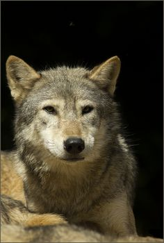 looks so much like ziggy... i love my wolf