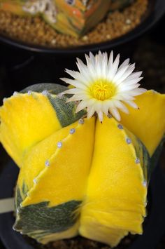 Astrophytum miryostigma variegata