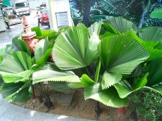 licuala-orbicularis-palm.JPG (1600×1200)