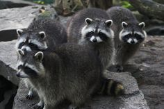 Raccoons can run 15 mph. The speed a human can run varies from person to person. Theoretically, a human can reach 30 miles per hour, but the average athletic human can run at about 11 miles per hour. (i love this picture)