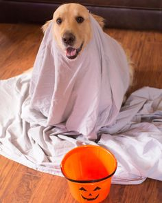 Happy Halloween  If you see this Grey Ghost tonight beware he may lick you to death!! #jackthegreyghost #goldenlove #grayseniors