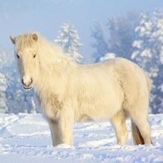 Free Horses wallpaper and other Animal desktop backgrounds. Get free computer wallpapers of Horses. Horses In Snow, White Horses, Free Horses, Baby Horses, Horse Wallpaper, Animal Wallpaper, 1920x1200 Wallpaper, Reptiles, Horse Background