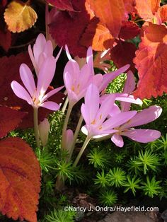 The fall flowers of the appropriately named autumn crocus (Colchicum autumnale)–shown here with the coppery foliage of 'Sedona' coleus (Solenostemon scutellarioides) and chartreusy 'Angelina' sedum (Sedum rupestre)–are a lovely surprise in the late-season garden.