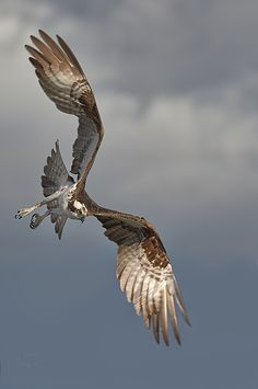 Osprey-Deadly Intent by JestePhotography Please retain photo credits Beautiful Birds, Animals Beautiful, Osprey Bird, Bird Wings, Birds Of Prey, Raptor Bird Of Prey, Bird Pictures, Wild Birds, Bird Art