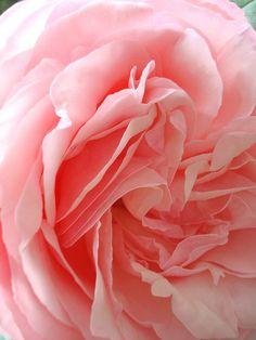 Les roses de mon jardin, via Flickr.