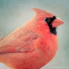 Red Cardinal Bird Portrait by Allison Trentelman