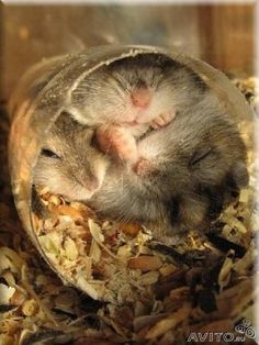 i dont know how three or even two fat hamsters can fit in thier and ber comfortable