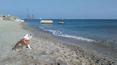Lola mi Bulldog Inglés admirando el Mediterraneo en Barcelona.