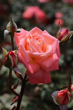 Coral Pink Rose...  I would love to flood my property with roses.  Unfortunately, the mob of a local deer population precludes this dream.