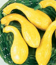 Calabaza Amarilla de Cuello Curvo