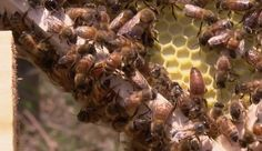 """""""Studies show that honey bees thrive in urban areas,"""" said Leigh-Kathryn Bonner, Founder and CEO of Bee Downtown."""