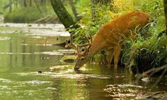 Stag drinking from a river