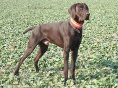 Cómo se originó la raza del perro braco alemán