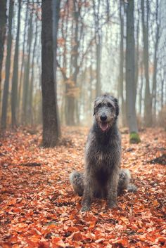 Irish Wolfhound Puppies, Irish Wolfhounds, Pet Dogs, Dog Cat, Doggies, Beautiful Dogs, Animals Beautiful, Glen Of Imaal Terrier, Scottish Deerhound