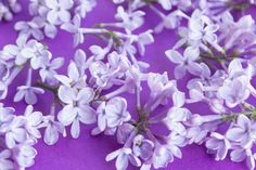lilacs on a purple background