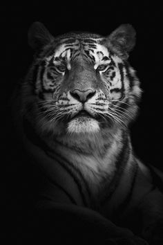 Outdoor Family Photography, Photography Poses, Black N White, Black And White Pictures, Photo Tigre, Zebras, Tiger Tattoo Sleeve, Models Men, Popular Photography