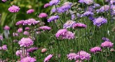 Beautiful perennials. this is Scabiosa, which blooms on and off all season...one of the few perennials that does this.  http://www.landscape-design-advice.com/easy-to-grow-flowers.html