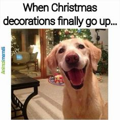 Dog memes When Christmas decorations go up...