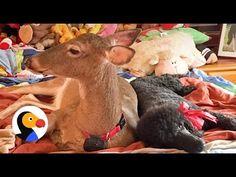 Blind Deer Has The Best Life Now   The Dodo