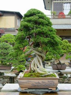 Juniper #Bonsai