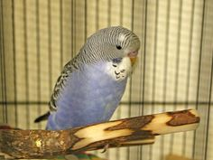 Parakeets waiting to meet you and follow you home -- come in and opt to adopt a couple of these lovely, lively and beautiful Parakeets. Franny A410713