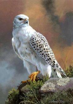 Gray Falcon - gyr