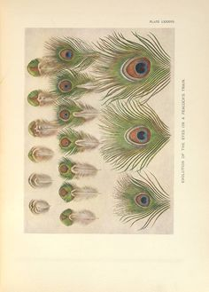 Evolution of the eyes of a peacock's train, from William Beebe, A monograph of the pheasants , 1918-1922