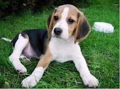 Free Beagle Training Course
