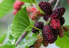 These are the easiest grow-your-own fruits. They don& require grafting, and are easily propagated in quantity for your very own backyard food forest garden. Mulberry Fruit, Mulberry Bush, Mulberry Leaf, Growing Raspberries, Growing Grapes, Blackberries, Blueberry Bushes, Forest Garden, Fruit Trees