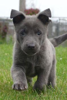Blue Dutch Shepherd puppy f
