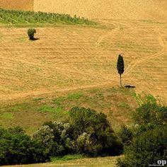 Lone Cypress | Osvaldo_Zoom