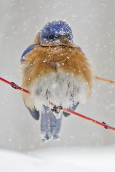 Winter - Another snowy morning for the Bluebird.
