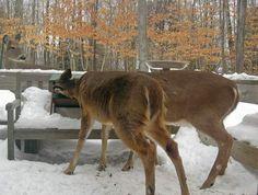 Deer raid the bird feeder