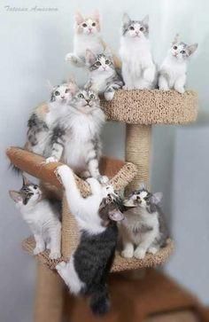 Kurilian-Bobtail-Cat