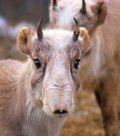 The critically endangered Saiga antelope is an ancient species, having once roamed many corners of the earth during the Ice Age.  Today the Saiga antelope is found in only a few areas in Russia, Kazakhstan and Mongolia.