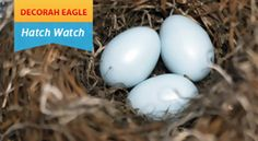 LIVE DECORAH BALD EAGLE CAM. WATCH THE EAGLES AND THE HATCHING OF THE BABY EAGLES! THE KIDS LOVE TO WATCH THIS!