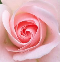 Download Pink Rose Wallpaper 36977 From Mobile Wallpapers This