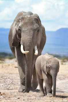 Elephant Pictures, Elephants Photos, Save The Elephants, Majestic Animals, Animals Beautiful, Cute Animals, Exotic Animals, Indian Elephant, Baby Elephant
